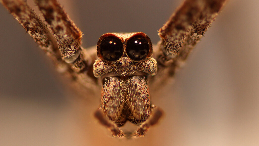 Ogre-faced spiders catch insects out of the air using sound instead of sight